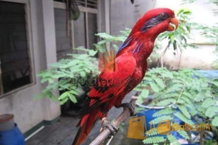 Burung Nuri Bayan Surabaya Jualo