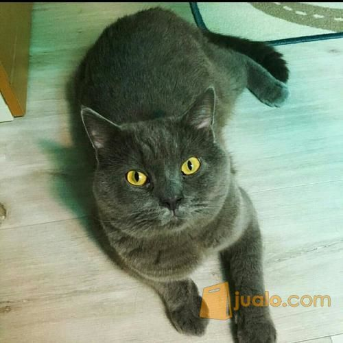 Jual Kucing British Shorthair Banjarmasin