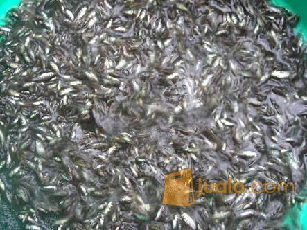 Ikan Wader Fresh Hidup Surabaya | Kab. Sidoarjo | Jualo
