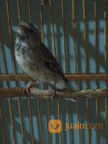 Blackthroat Botswana Bandung Jualo