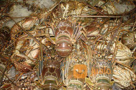 Aneka Lobster Hidup Jakarta Selatan Jualo