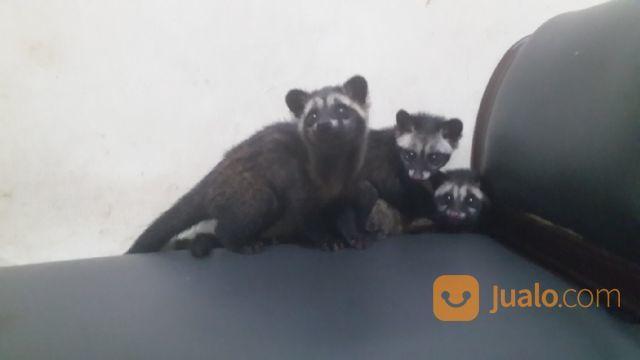 Musang Pandan Biul Rase Jakarta Selatan Jualo