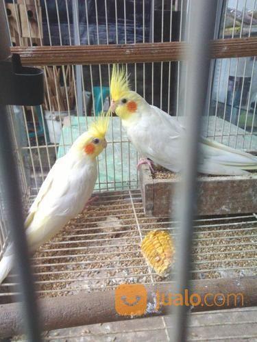 Burung Falk Cockatiel Kab Sragen Jualo
