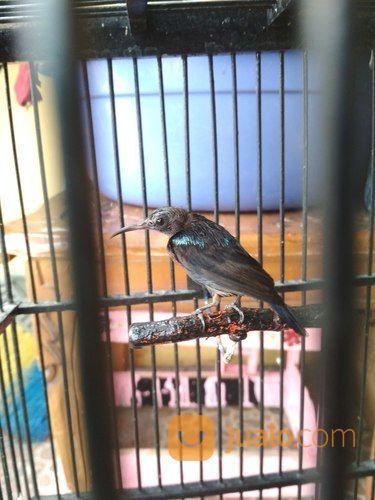 Kolibri Ninja Fullset Dengan Kandang Jakarta Barat Jualo