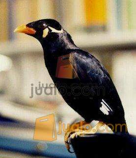 Jual Burung Beo Serpong Jualo