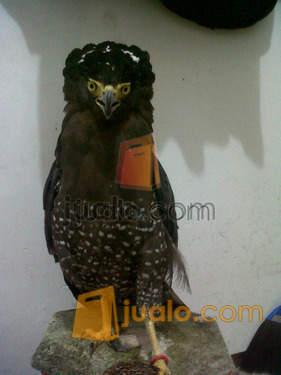 Burung Elang Bido Malang Jualo