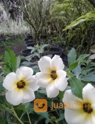 Tanaman Hias Bunga Pukul Delapan Kab Sleman Jualo