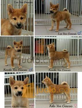 Anjing Shiba Inu Pekanbaru Jualo