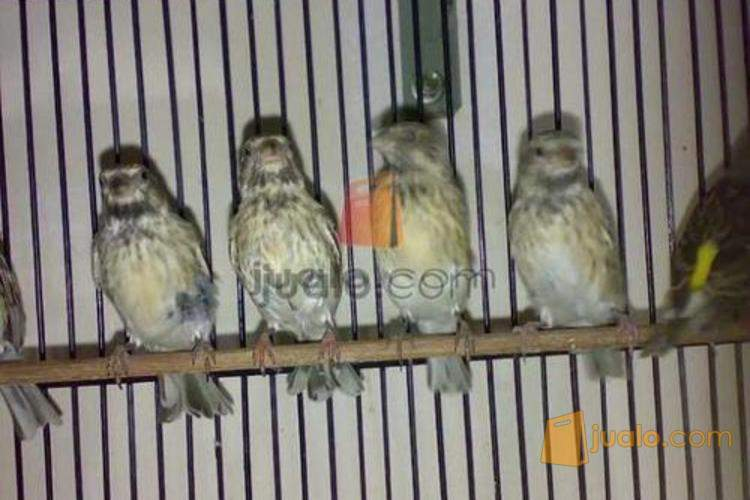 Burung Black Throat Surabaya Jualo