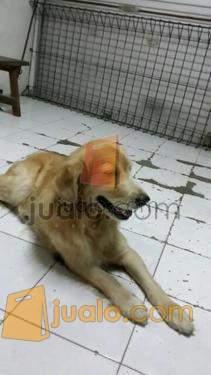 Di Jual Anjing Golden Surabaya Jualo