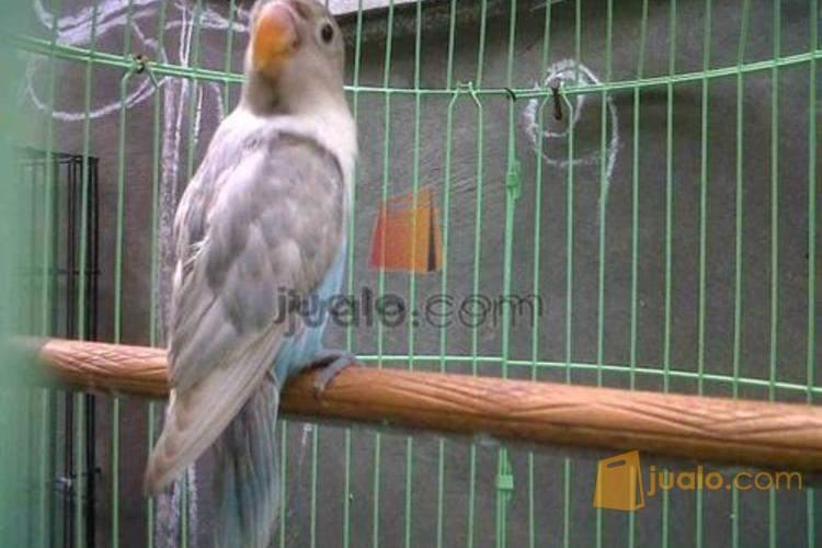 Lovebird Pastel Biru Jakarta Jualo