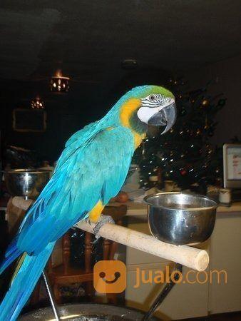 African Grey Macaw Surabaya Jualo