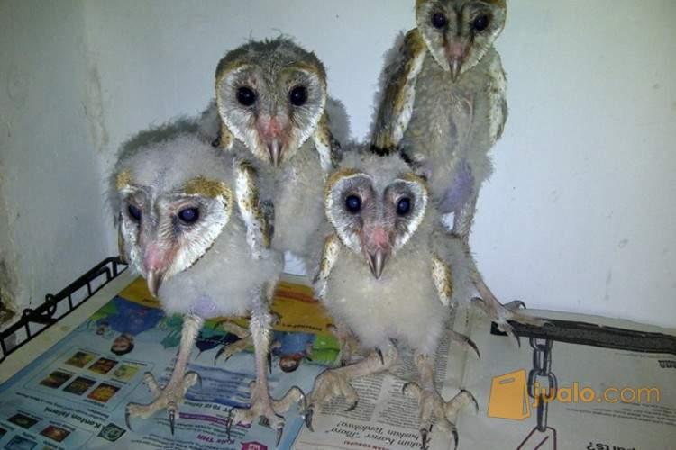 Anakan Burung Hantu Tyto Alba Surabaya Jualo