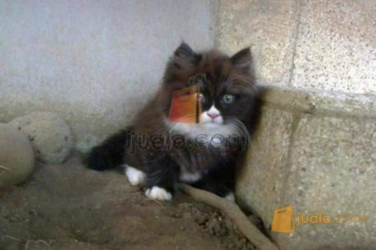 Anakan Kucing Persia Medium Kab Jember Jualo