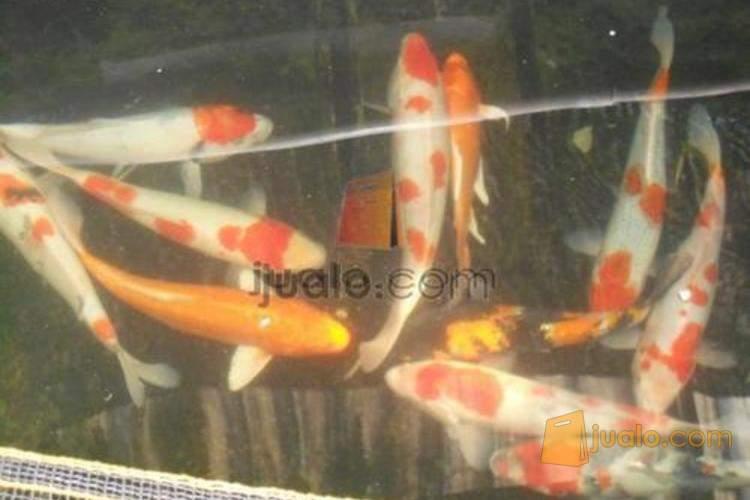 Ikan Koi Surabaya