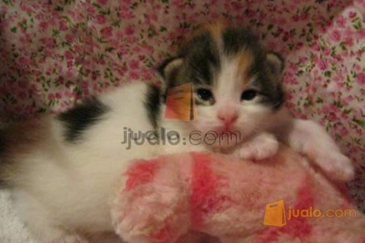 Jual Anak Kucing Mainecoon Jakarta Jualo