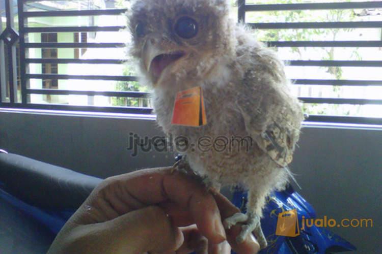 Burung Hantu Celepuk Solo Surakarta Jualo