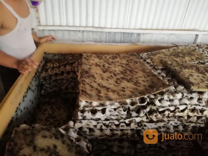 Jangkrik Makanan Burung Lele Dll Murah Kab Badung Jualo