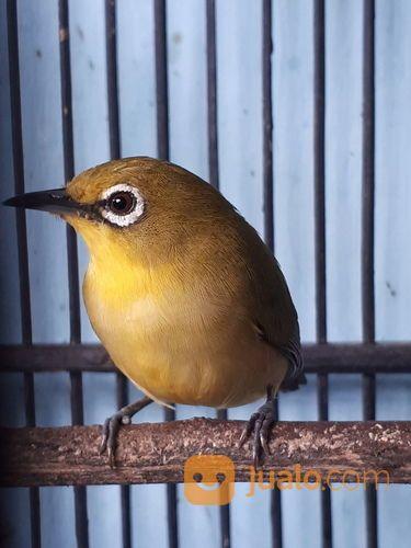 Burung Pleci Gacor Siap Kontes Jakarta Timur Jualo