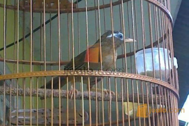 Sepasang Burung Wambi Hwamei Jakarta Jualo