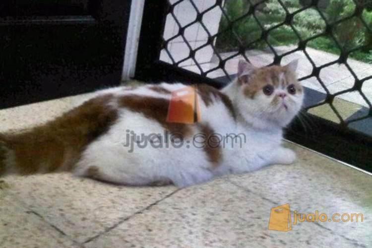 Kucing Persia Exotic Shorthair Tangerang Jualo