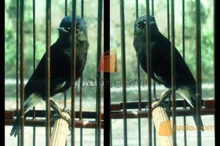 Burung Decu Langka Kacer Mini Yogyakarta Jualo