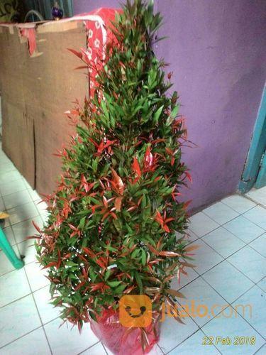 Pucuk Merah Tinggi 1 Meter ( Bergaransi )