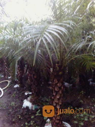 Tanaman palem phonix taman dan tanaman 14595863