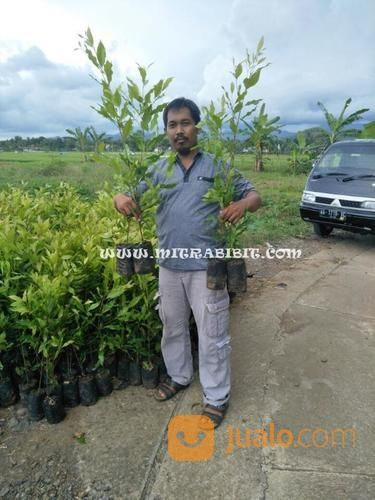 Bibit pohon cengkeh z taman dan tanaman 14631893