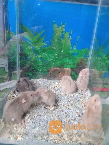 Hamster Campbell Anak (14636439) di Kota Tangerang Selatan