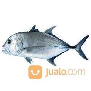 Foss Seafood Ikan Kuwe / Kue Bongkok Frozen (Beku) Size 500gr-1kg (14643529) di Kota Tangerang