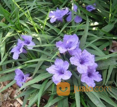 Tanaman aralia ungu taman dan tanaman 14649077