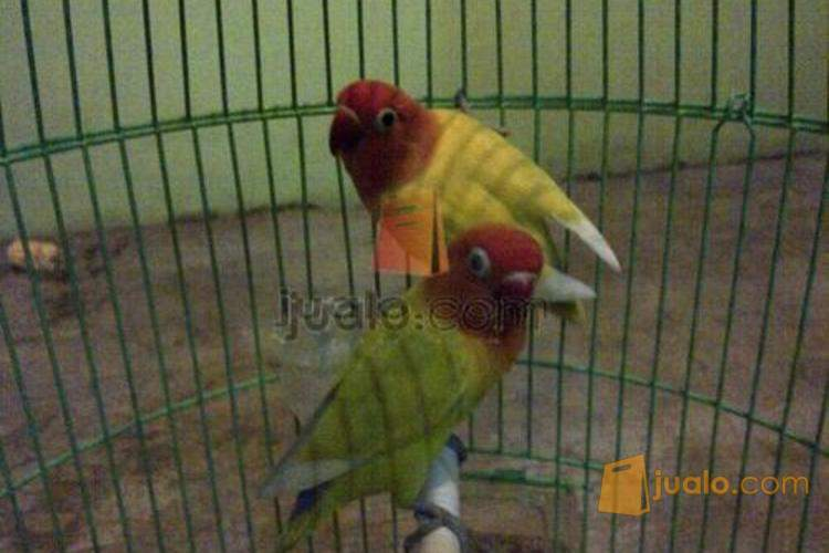 Love Bird Paskun Bersih Indukan Ngalung Surabaya Jualo