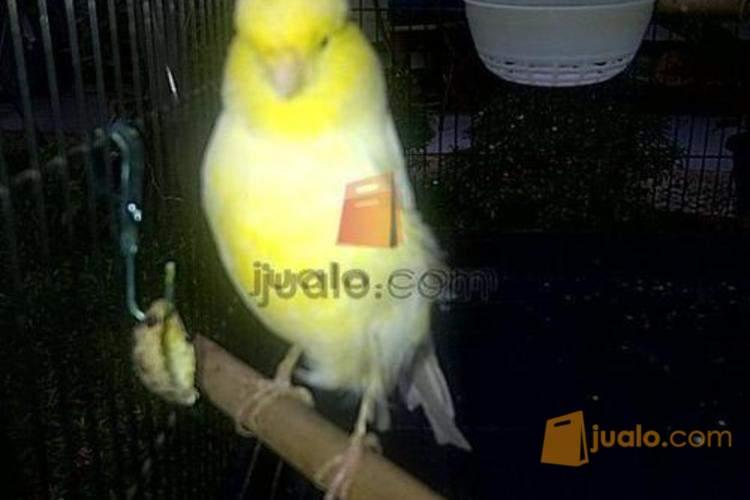 Burung Kenari Betina Ys Dan Giantcrested Bekasi Jualo