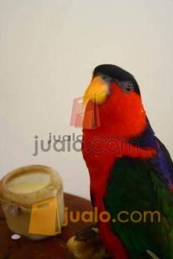 Jual Burung Nuri Kepala Hitam Jinak Jogja Yogyakarta Jualo
