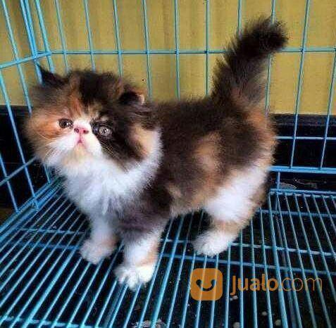 Kucing Persia Anakang Umur 2 Bulan Kab Gorontalo Utara Jualo