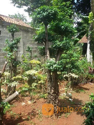 Pohon bonsai beringin taman dan tanaman 14885577