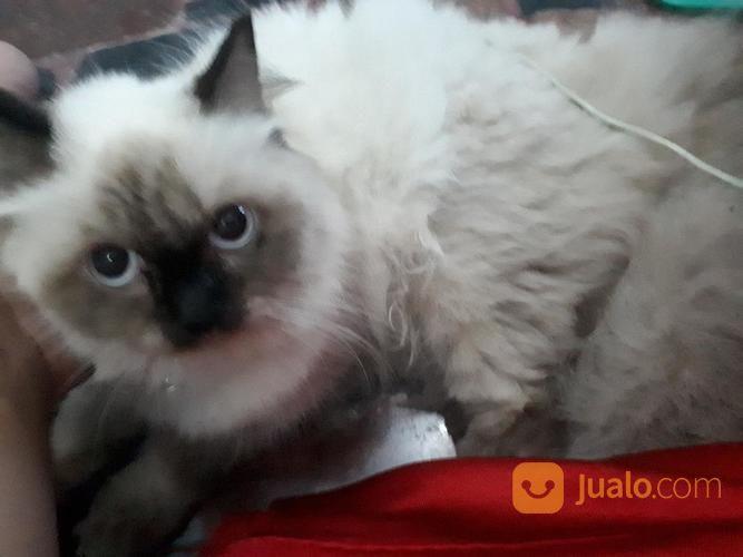 Kucing Himalaya Umur 9 Bln Tangerang Jualo