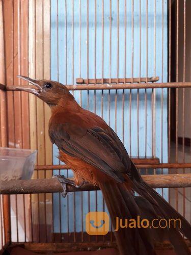 Burung Cucak Rowo Papua Jakarta Timur Jualo