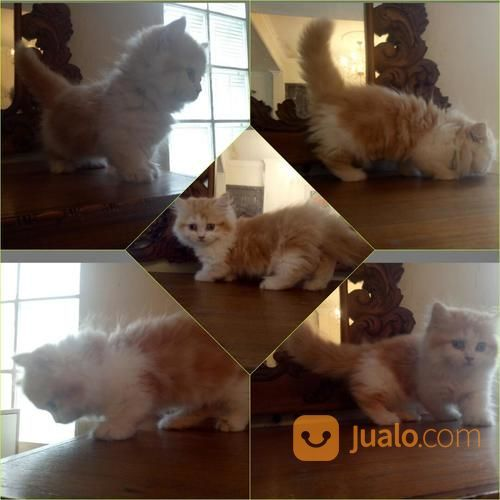 Kucing Munchkin Lucu Jakarta Barat Jualo