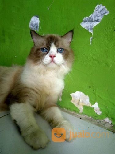 Kucing Anggora Jantan Umur 9 Bulan Warna Abu Abu Campur Putih Mata Biru Terang A Pekanbaru Jualo