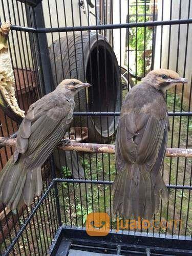 Sepasang Anak Cucak Rowo Sumatra Pontianak Jualo