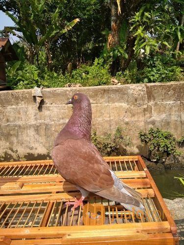 Burung Merpati Kolongan Kualitas Bagus Kab Tasikmalaya Jualo
