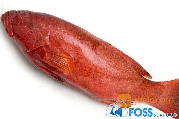Foss Seafood Ikan Kerapu Sunu Tungsing Frozen Beku Tangerang Jualo