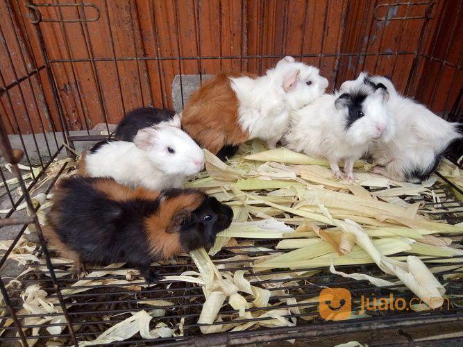 Marmut Hias Guine Pig Jakarta Selatan Jualo