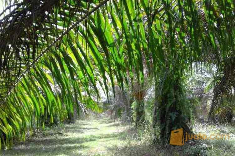 Dijual Tanah Kebun Kelapa Sawit 22 Ha di Ogan Ilir, Sumatera Selatan PR951 (1621950) di Kab. Ogan Ilir