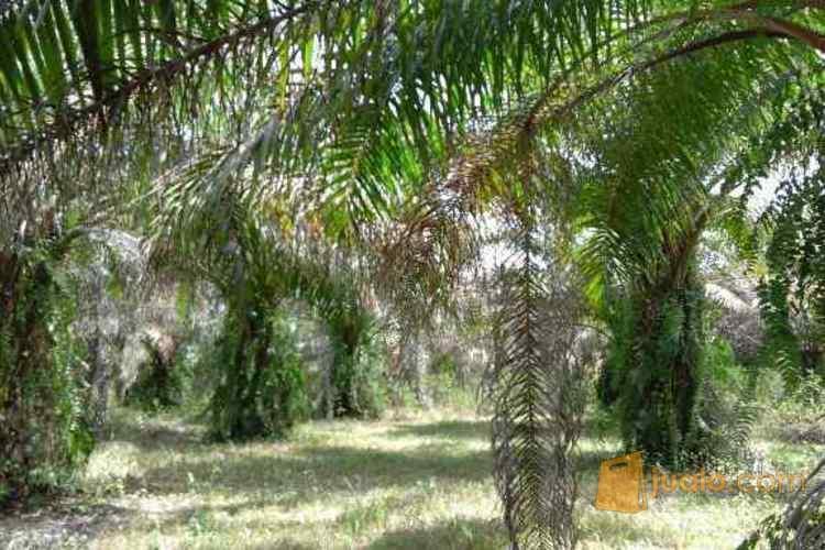 Dijual Tanah Kebun Kelapa Sawit 22 Ha di Ogan Ilir, Sumatera Selatan PR951 (1621952) di Kab. Ogan Ilir