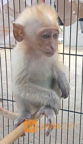 15+ Hewan monyet putih terupdate