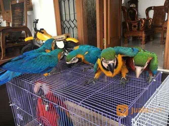 Burung Macaw Blue And Gold Usia Bervariasi Denpasar Jualo