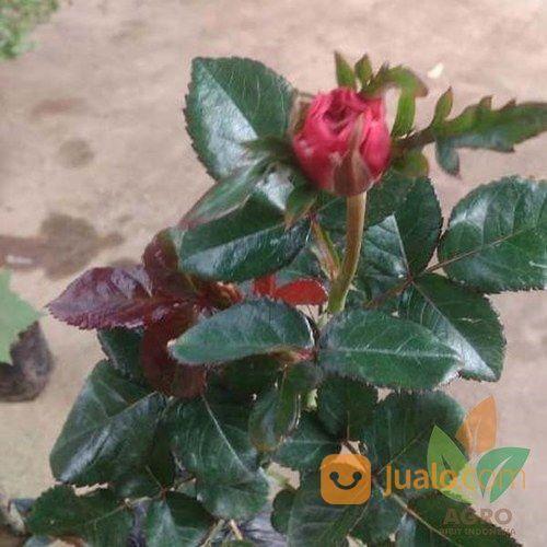 Tanaman Bunga Mawar Merah Kab Nganjuk Jualo